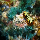 nudibranch, morrey, soft coral, chaetodon