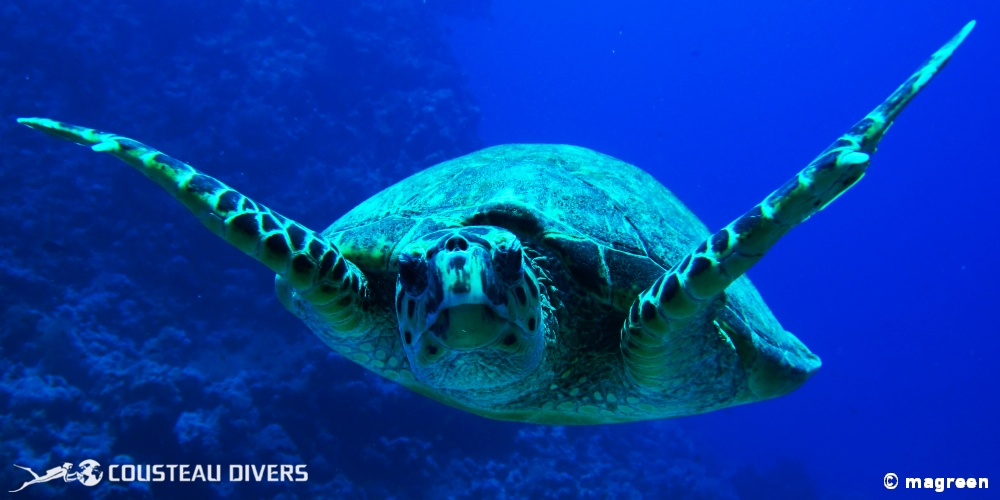 hawksbill turtle, turtle, red sea