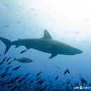 silky shark, carcharhinus falciformis, galapagos islands, galapagos expedition