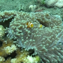 anemone, fish, bali, tropical, indo pacific, anemone fish, tulamben