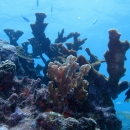 key largo, french reef, elkhorn coral