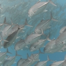 fish, bali, jackfish, tropical, indo pacific, tulamben