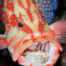 crab, marine behavior, coral grouper