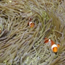 anemone, fish, clownfish, bali, invertebrate, tropical, indo pacific, anemone fish
