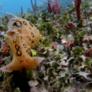 sea hare, gulf of mexico, florida, natural reef, gulf coast, clearwater, veteran's reef, spotted sea hare
