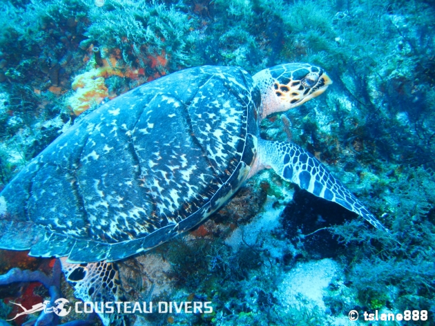 turtle, mexico, cozumel